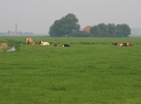 Het vee