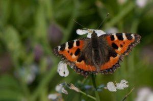 160825_vlinder1