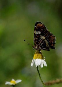 160825_vlinder2
