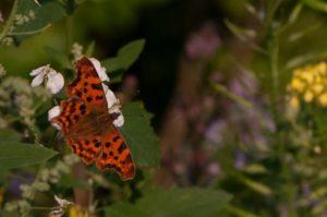160825_vlinder4